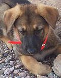 German Shepherd Puppies For Sale, Imported Czech Border Patrol Lines, from RuffGSD.
