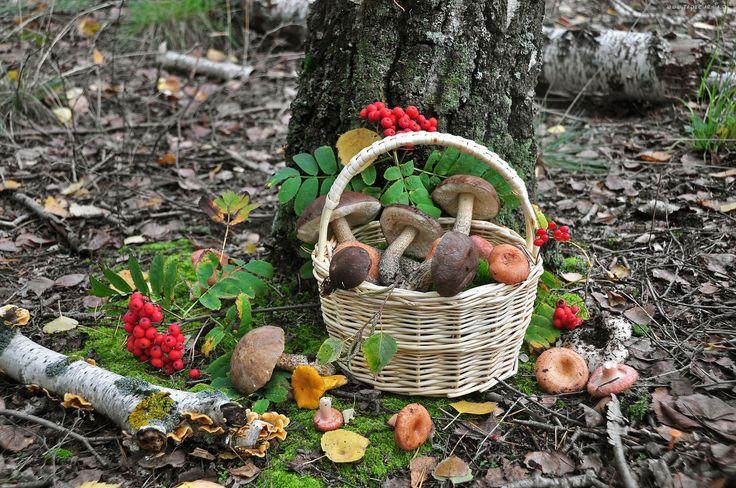 Las, Koszyk, Grzyby, Jarzębina, Drzewa, Ściółka