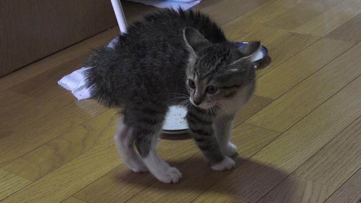 子猫のマジギレのにらみ合い。食べ物の恨みはおそろしや。