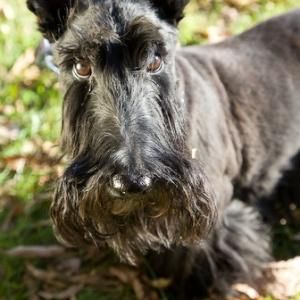 Scottish terrier names male