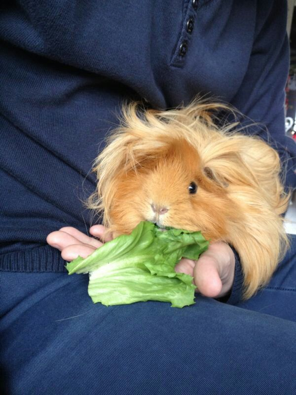 adorable longhaired guinea pig