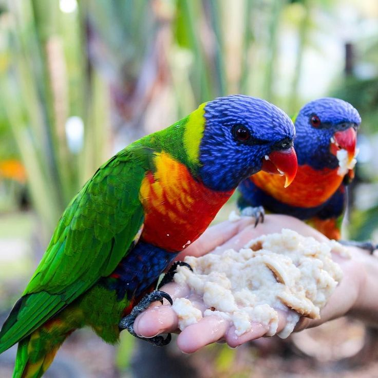 These rainbow lorikeets go mad for soggy bread. You can feed them at the Island Gateway caravan park  #rainbowlorikeet #parrot #parrotlove #lovewhitsundays