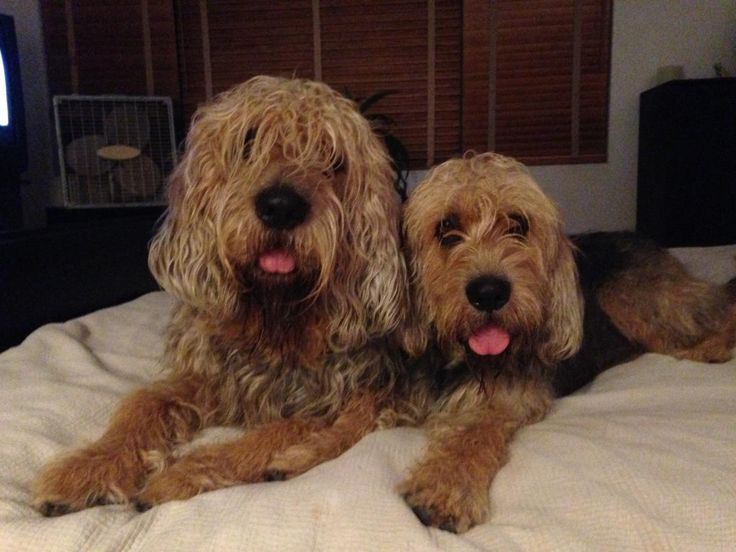 Love those faces but will likely chase the cats. Otterhound information including personality, history, grooming, pictures, videos, how to find a Otterhound and AKC standard.