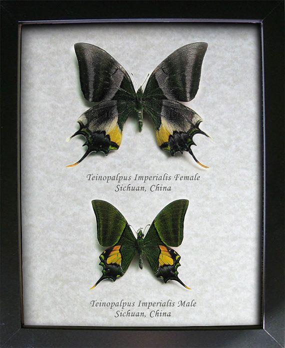 Teinopalpus Imperialis Emperor Of India Real by ButterfliesArtist, $179.99