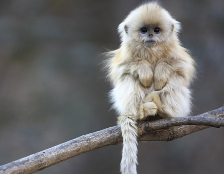 I love this photo. So cute. Baby snub nosed monkey
