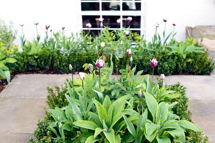 Tulip 'Rem's Favourite' and foxgloves in leaf, Middleton Road