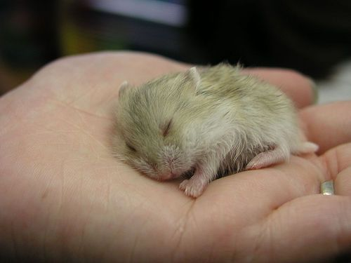 Baby Hamster Asleep In Palm of Hand
