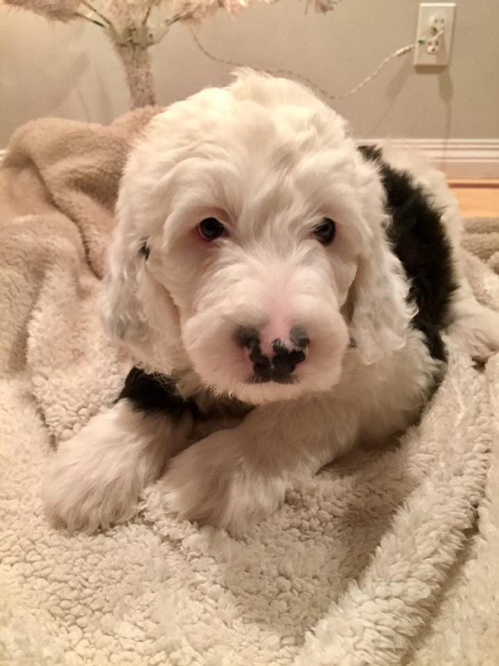 Wild Rose Sheepadoodles Alberta Canada Sheepadoodle Puppy Old