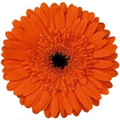 wholesale flower images gt gerbera daisies gt gerbera daisy orange