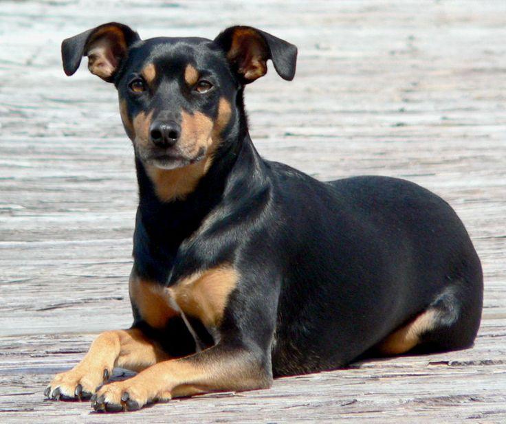 manchester terrier | Manchester Terrier - Razas perros | Mascotas.