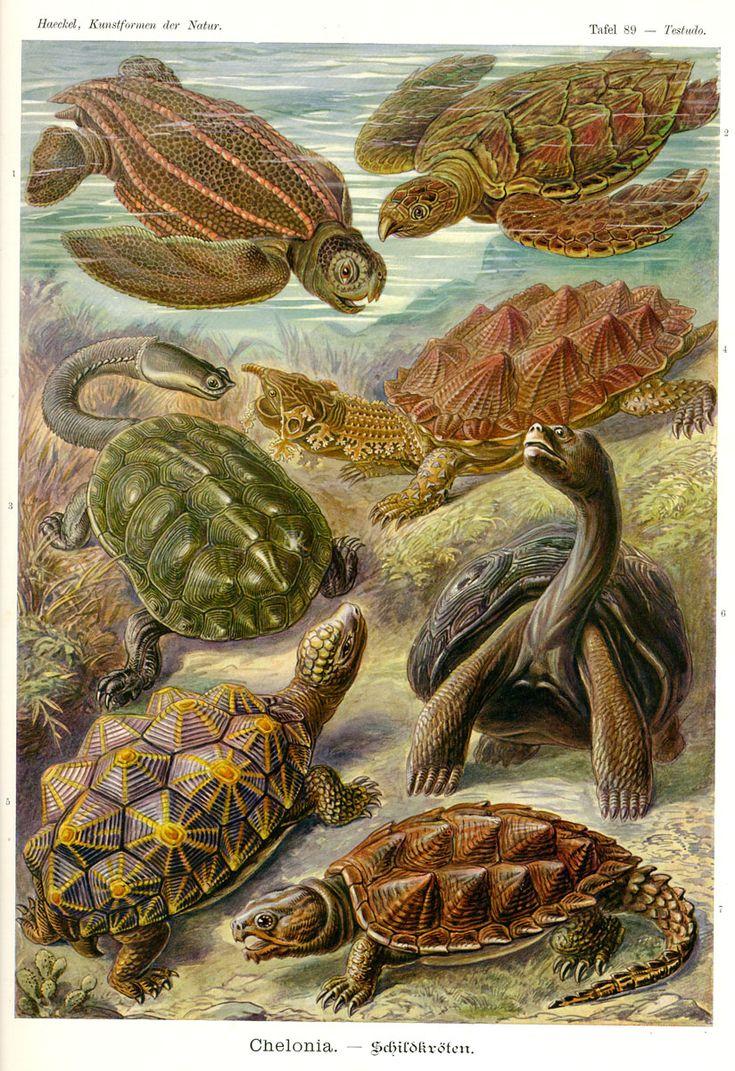 Chelonia by Ernst Haeckel; Kunstformen der Natur, 1900