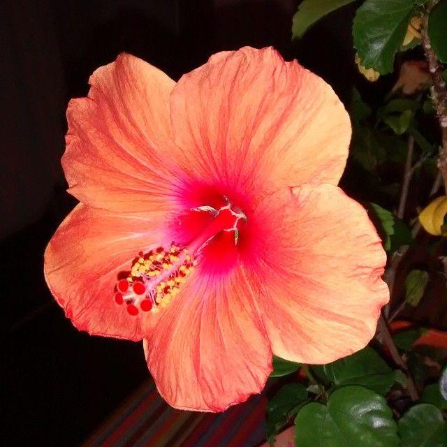 Mon Hibiscus fait de trop belles fleurs  #fleurs #fleur #flower #flowers #nature #hibiscus #hibiscusflower