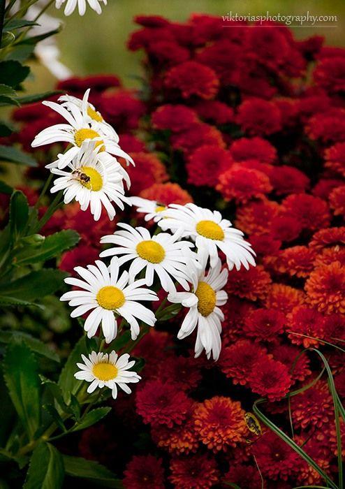 Цветут мои октябрьские ромашки и хризантемы