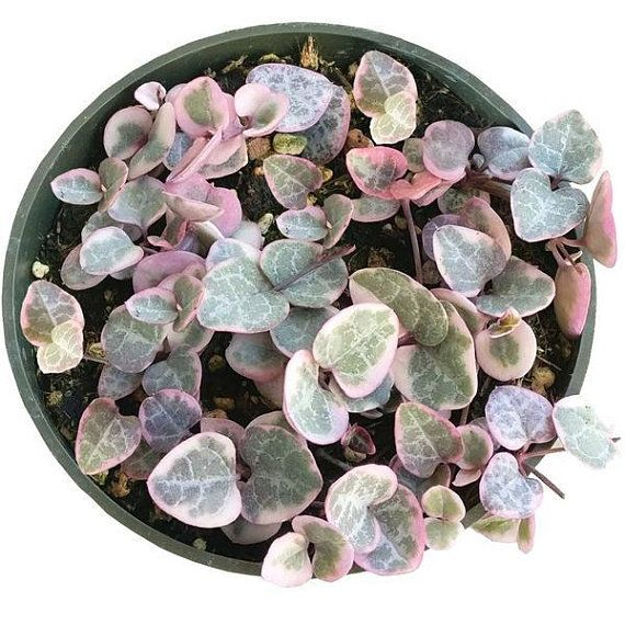 String of Hearts Succulent VARIEGATED Plant Ceropegia Woodii Pink Exotic Succulent Rooted Rare Plant