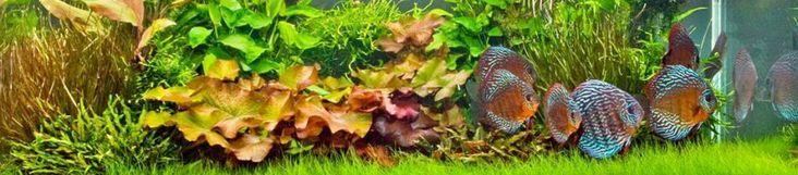 Live aquarium plants http://stores.ebay.co.uk/Live-Aquarium-Pond-Plants-Shop/Aquarium-plants-/_i.html?_fsub=4461477015&_sid=748828975&_trksid=p4634.c0.m322