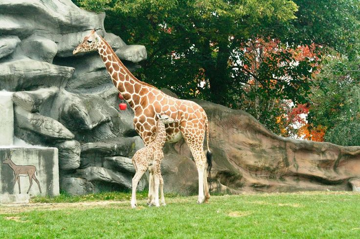 The officials at Detroit Zoo welcomes its latest addition- a reticulated giraffe born after a 15 month gestation period.