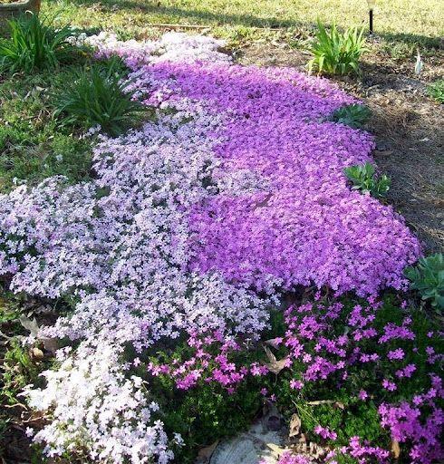 Creeping Phlox Plants Amp Flowers That I Grow Creeping