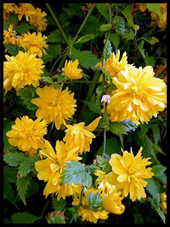 Gele bloemen in een heg