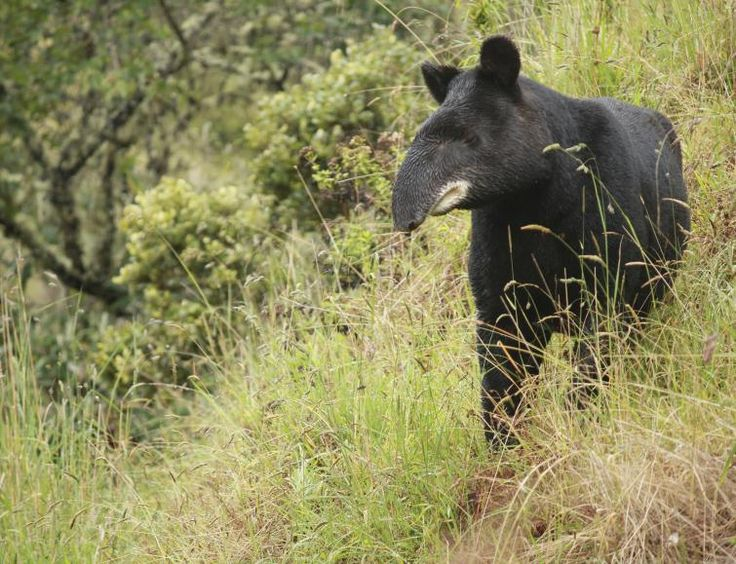 The mountain tapir in Los Nevados Natural Park