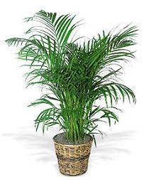 Top 7 van luchtzuiverende kamerplanten.  Alle planten produceren zuurstof, maar sommige planten zuiveren ook de lucht. Dit is belangrijk in de steeds beter geïsoleerde huizen en kantoren.