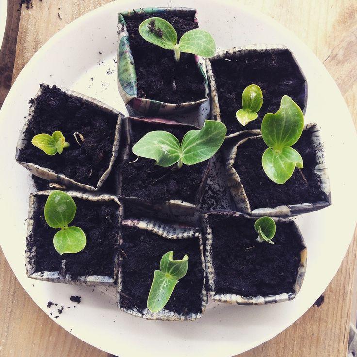 De courgettes en pompoenen groeien bijna hun potjes uit, ook al zijn de plantjes recent nog in grotere potten gezet. Het wordt hoog tijd om ze naar de tuin te verhuizen!