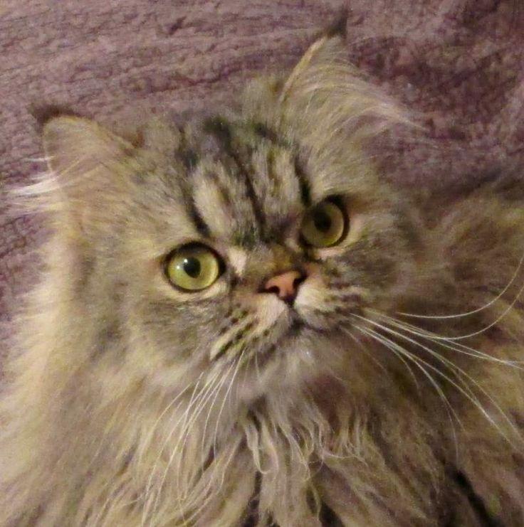 Persian cat rescue north texas