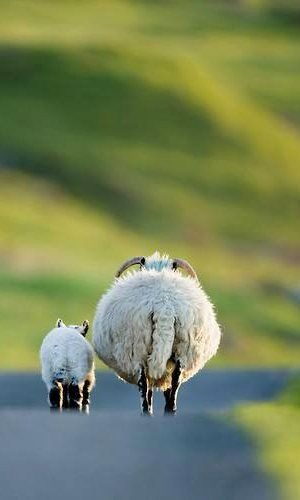 Scottish  blackface sheep mosey on down the road...