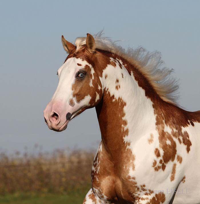 American Paint Horse western quarter paint horse paint ... - photo#24