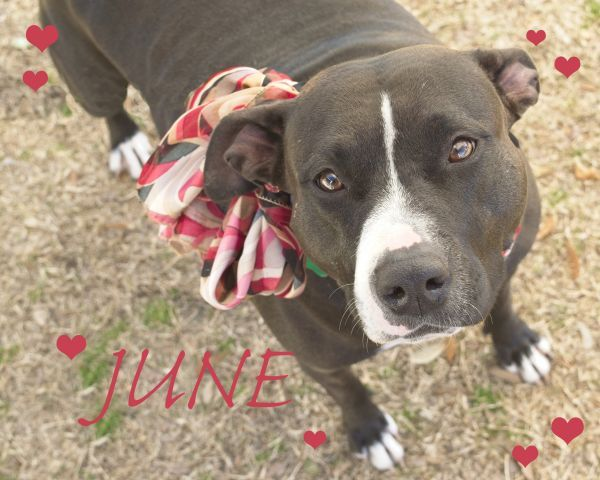 June Adoptable Dog Young Female American Staffordshire Terrier