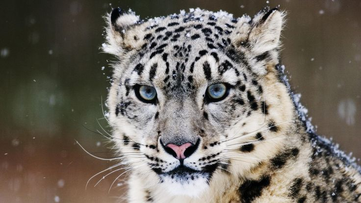 free 1920X1080 snow leopard wallpaper screensaver preview id 106924 ...