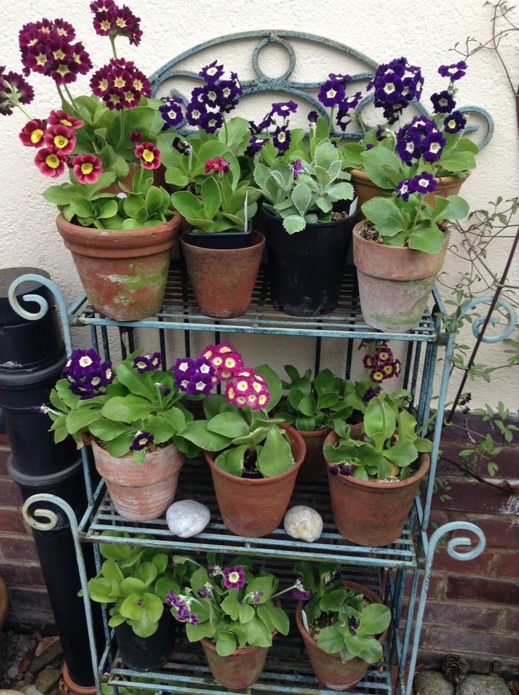 My Mum's favorite flowers (Auriculas) by her back door