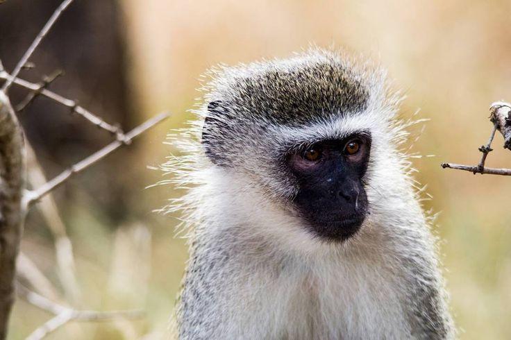 Little visitors #umkhuzegamereserve #mkhuze #wildlifeshots #wildlifephotographer #wildlifephotography #canon_photo #canonphotography #canon #sigma150500 #sigma_photos #sigma #photographer #photobug #pixel_panda #lovemkhuze #loves_southafrica #igersouthafrica #instagramza #instagramsa #southafricaza #thisissouthafrica #natgeophotos #natgeo #myshotsa #rsa_wildlife #ig_nature #wildlife_vision #vervetmonkey