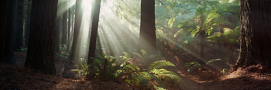 Redwood Forest | Otways | Victoria by Ben Messina