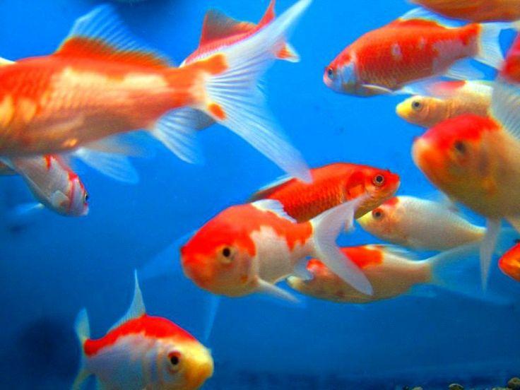 179 best goldfish koi images on pinterest beautiful for Best freshwater aquarium fish combination