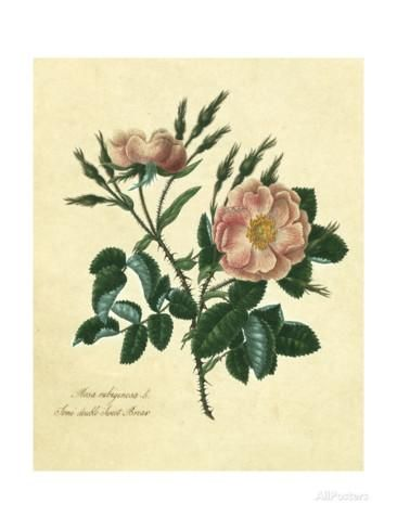 Sweet Briar Rose Posters by Mary Lawrence at AllPosters.com