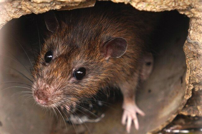 Health Risks Of Common Pests Animals Rodents Rat Infestation