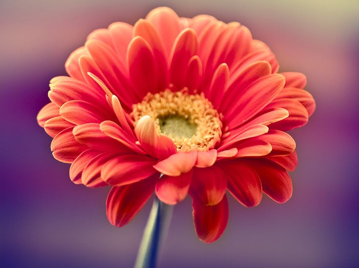 Canada Floral Delivery Blog Fun Facts About Daisies Gerbera Daisy Art Flowers