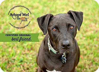 Pictures of Emerson a Labrador Retriever/Great Dane Mix for adoption in Pearland, TX who needs a loving home.