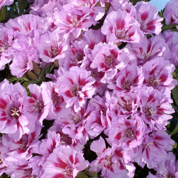 ATLASBLOMMA 'Cattleya' i gruppen Ettåriga blomsterväxter hos Impecta Fröhandel (83901)