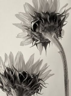 Untitled (sunflowers) by German botanical fine art photographer Karl Blossfeldt (1865-1932). via universo paralelo