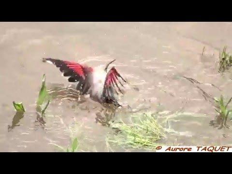 Tichodrome échelette BAIN Saumur (Tichodroma muraria) - Faune de France - YouTube