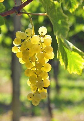 Cette treille, vous en avez tellement envie, pour ombrer la terrasse ou avoir le plaisir de cueillir votre propre raisin à l'automne... Afin de choisir la bonne variété et obtenir du raisin de qualité, suivez nos conseils.