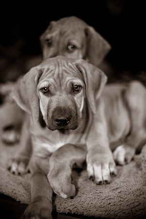 Rhodesian Ridgeback puppies..... after my current four dogs pass away. I will get me one of these... it will be a while though my youngest pup is only 4weeks old.