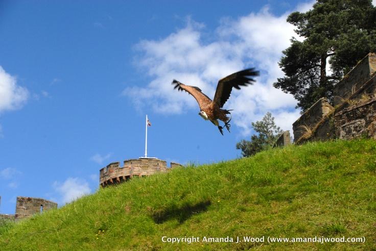 Vulture, Warwick Castle, England 2012