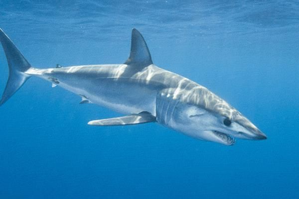 Mako Shark  One of my faves!  The fastest of all sharks.