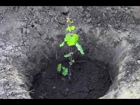 Посадка винограда весной. Контейнерный метод. Продолжение