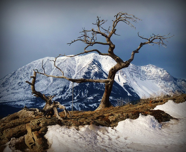 Canada- The Burmiss Tree, Crowsnest Pass