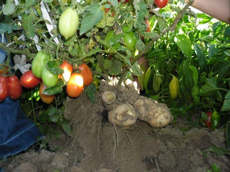 Как вырастить томатокартофель самому? Прививка томата на картофель. Фото - Ботаничка.ru