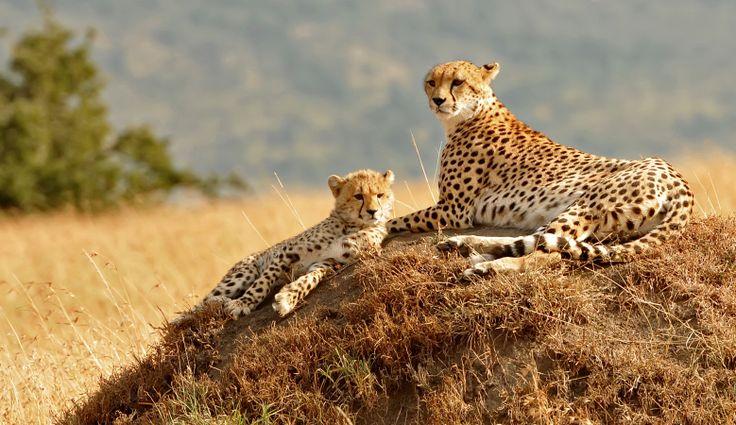 Kenia - Reisen - Leopard
