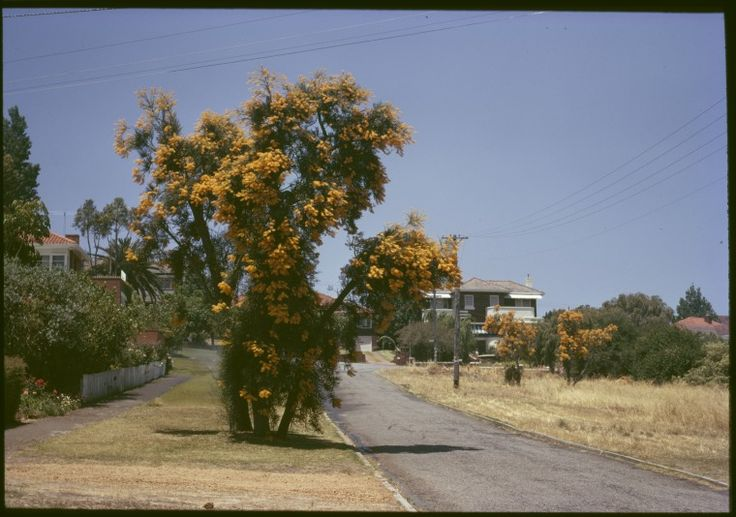 147925PD: Nuytsia floribunda, or Western Australian Christmas Trees, Western Australia, between 1965 and 1984. https://encore.slwa.wa.gov.au/iii/encore/record/C__Rb4173035